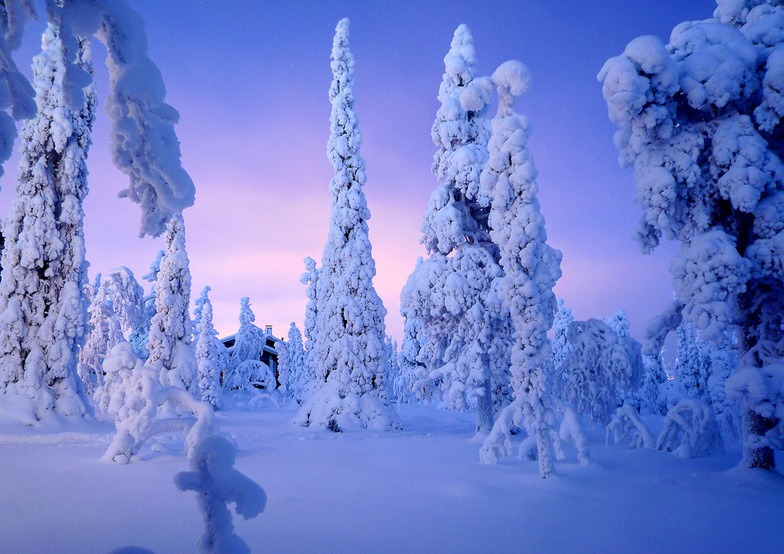 Snow laden trees at Ruka, Finland