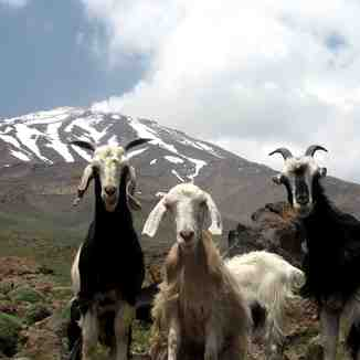 goosfand sara, Mount Damavand