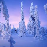 Snow laden trees at Ruka, Finland, Finland