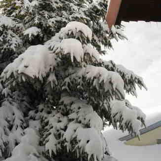 snowed fir, Seli