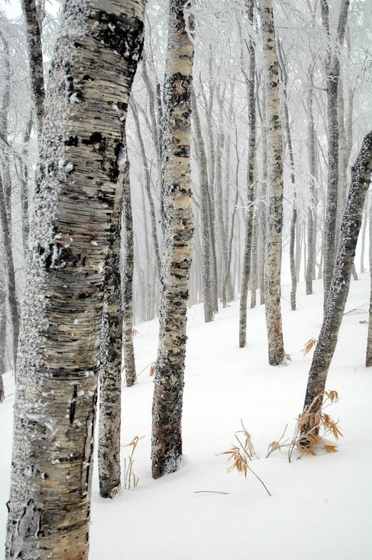 Japanese Birch, Rusutsu, Rusutsu Resort