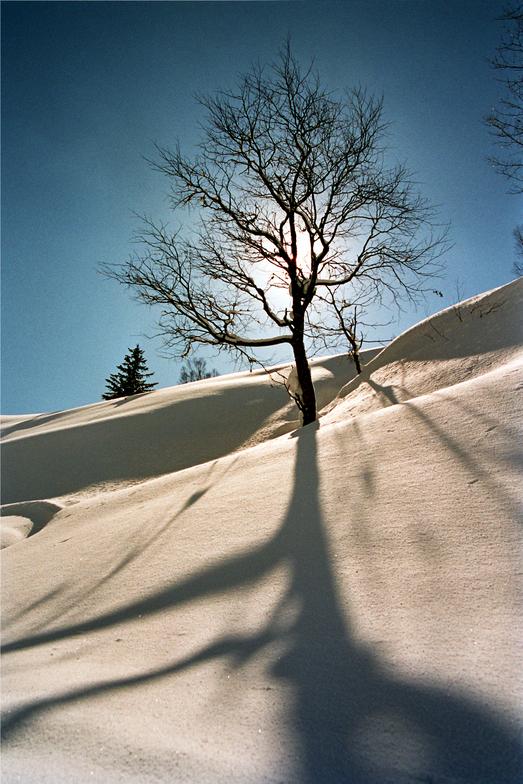 Japanese Birch, Hokkaido