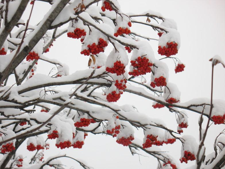 Snow Berries, Grimentz
