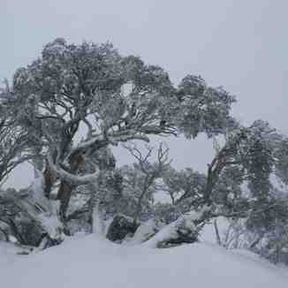 Snow gums at Blue Cow, Perisher