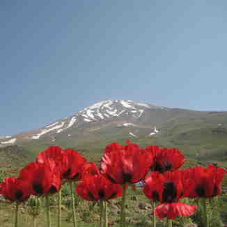 anemone  flower, Mount Damavand
