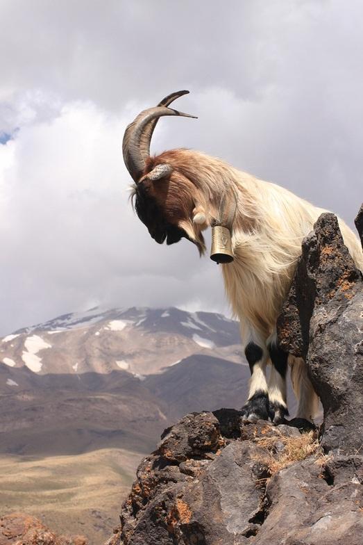 goat in damavand, Mount Damavand