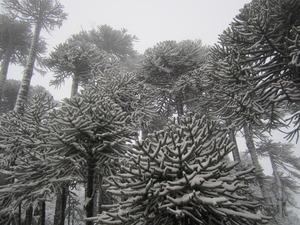 Araucarias- Volcan Llaima-Chile, Las Araucarias photo