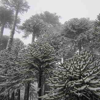 Araucarias- Volcan Llaima-Chile, Las Araucarias