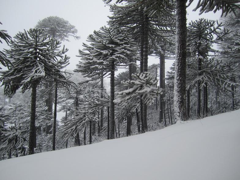 Araucarias and fresh snow, Las Araucarias