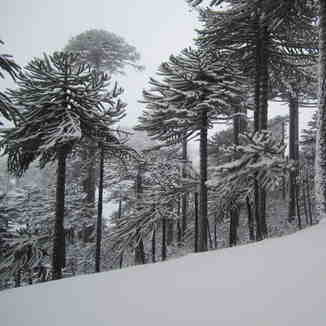 Araucarias and fresh snow, Las Araucarias