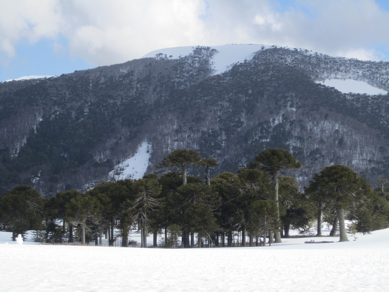 Araucaria Forest, Corralco (Lonquimay)