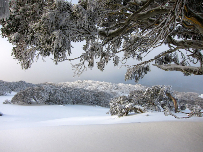 Encrusted snow gum near Bogong Creek, Thredbo, Australia