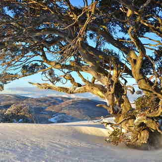 Snow Gum in early morning light, Bogong Creek, Thredbo, Australia