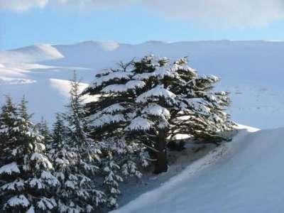 for lebanon, Cedars