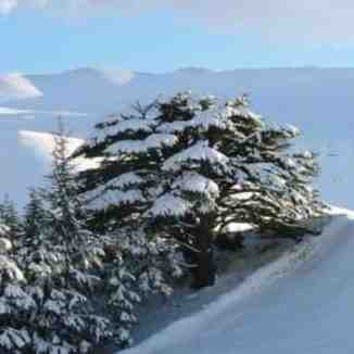 for lebanon, Cedars