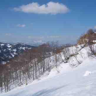 buna tree., Matsunoyama Onsen