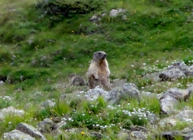 Marmot spotting in Livigno