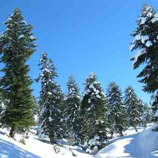 Fir trees in Akkar, northern Lebanon, Mzaar Ski Resort