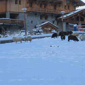 Sheep on nursery slope, Sainte Foy