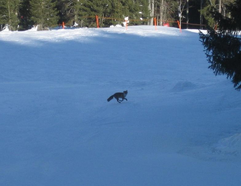 slope fox, Balderschwang
