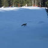 slope fox, Balderschwang
