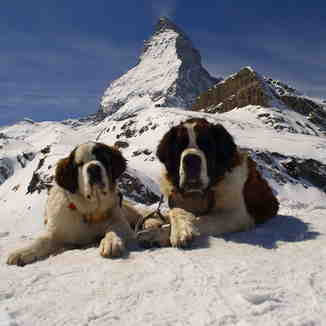 St Bernard Dogs, Breuil-Cervinia Valtournenche