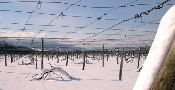 vine yard in snow, Otaru Tenguyama