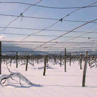 vine yard in snow, Otaru Tenguyama