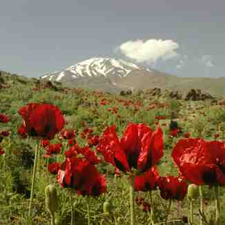 گل خشخاش در دامنه دماوند, Mount Damavand