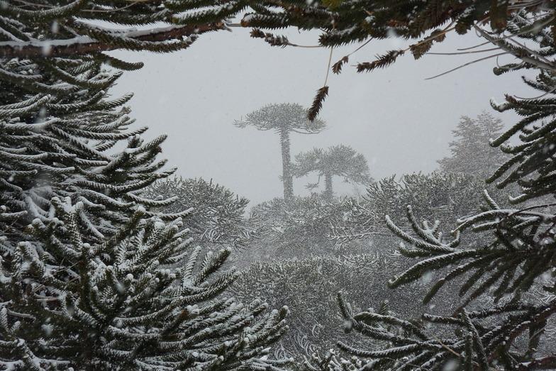 Araucaria Araucana winter glory, Las Araucarias