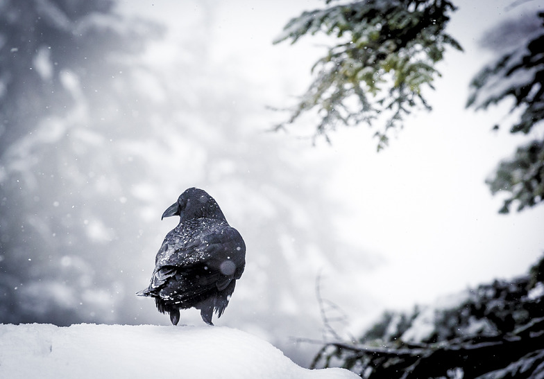 Fresh Snow for the Ravens, Grouse Mountain