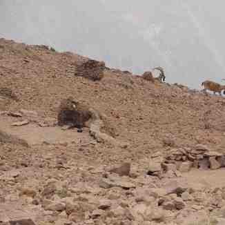 حیات وحش دماوند, Mount Damavand
