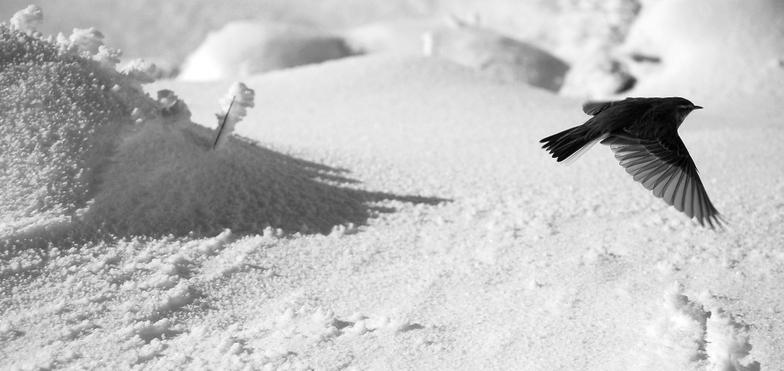 bird in the snow, Silverton Mountain