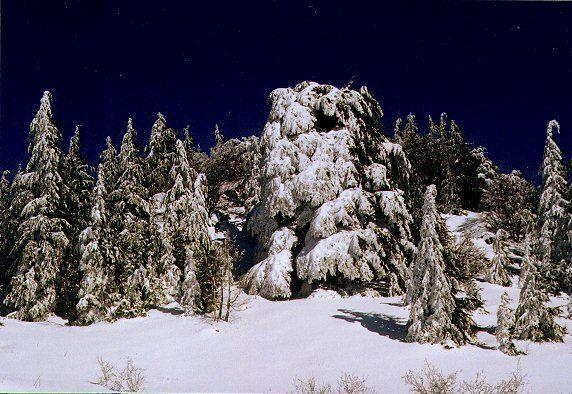 cedars trees after heavy snowfalls