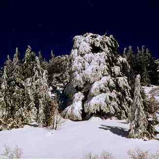 cedars trees after heavy snowfalls