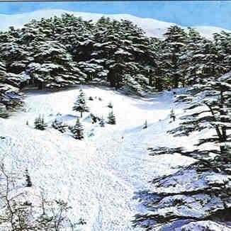 sedars - lebanon, Cedars