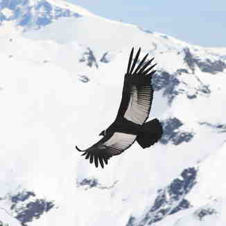 Condor Flying, Mount Washington