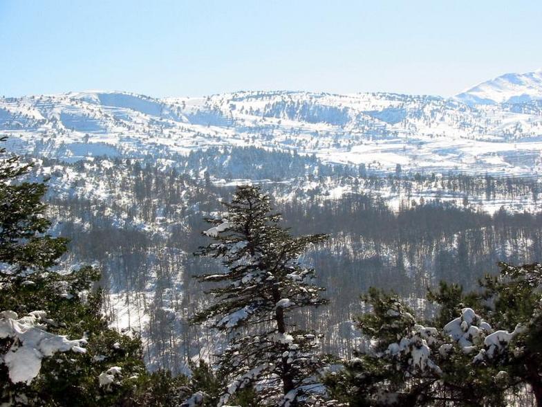 El Kamoua National Park In Winter , Akkar , North Lebanon, Cedars