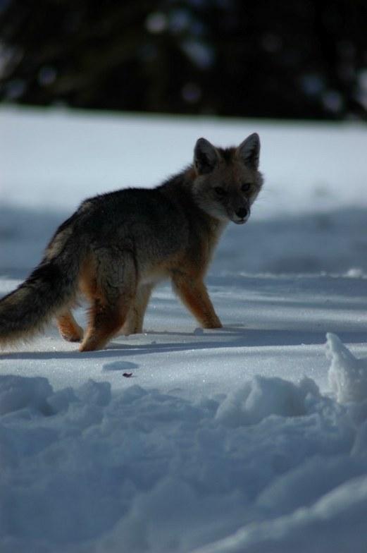 Fox, Corralco (Lonquimay)