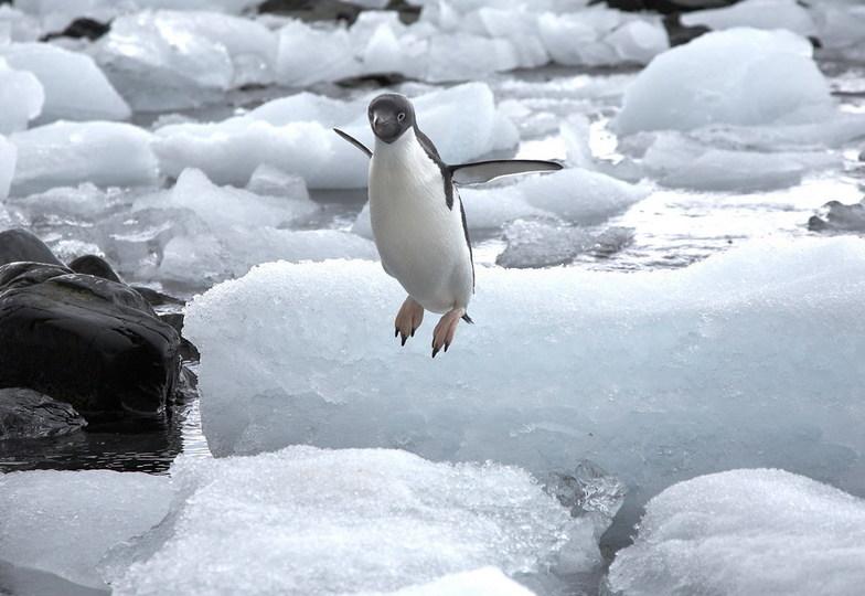 Jumping Adele Penguin