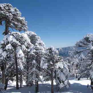millenary trees, Las Araucarias