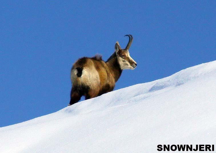 Brezovica wild goat