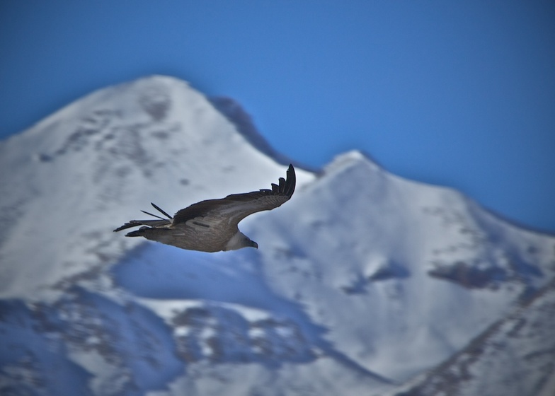 Eagle over the canyon Aragvi in Gudauri.