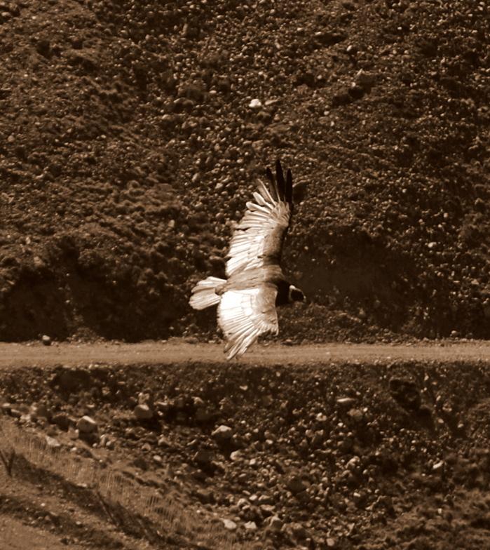 Condor, La Hoya